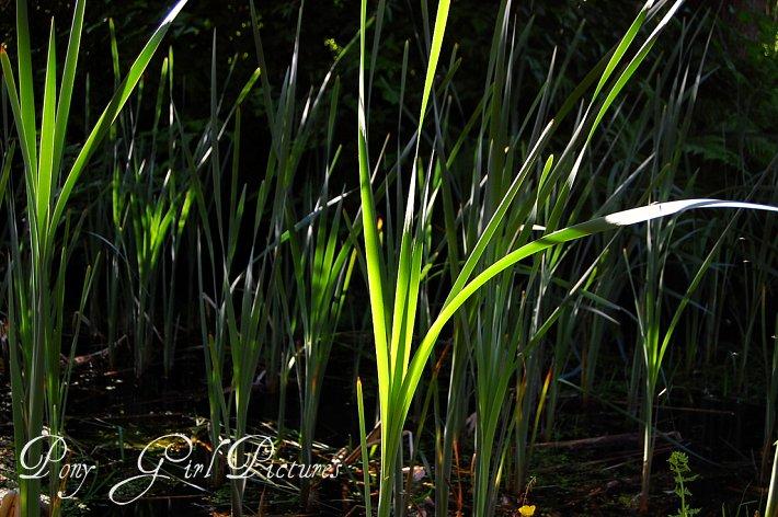 Pond Reeds