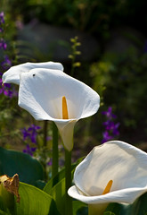Calla Lilies (aeschylus18917) Tags: flowers flower nature japan season tokyo spring nikon lily seasons g micro   nikkor  araceae callalily f28 vr zantedeschia arumlily 105mm lilyofthenile zantedeschiaaethiopica 105mmf28  105mmf28gvrmicro alismatales d700 nikkor105mmf28gvrmicro  aroideae danielruyle aeschylus18917 danruyle druyle   zantedeschieae
