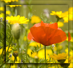 (Marjo1963) Tags: flowers red yellow juni raw poppy geel rood 2009 bloemen klaproos bej abigfave anawesomeshot wonderfulworldofflowers arkiesnaturegroup ganzebloempjes