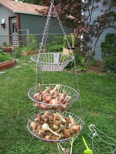 shallots and onions ready to hang