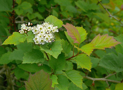 Crataegus sp. #2 (J.G. in S.F.) Tags: flower foliage hawthorn flowerbud rosaceae berkeleycalifornia ubcbotanyphotooftheday crataegussp ucbotanicalgardenatberkeley