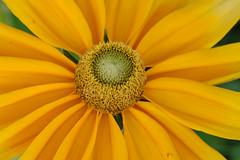 (sandra9871) Tags: ontario flower macro yellow niagarafalls niagarabotanicalgardens