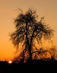 An autumn evening [explored] (KarolusLinus) Tags: autumn sunset sun cold tree evening zonsondergang herfst boom avond zon koud silhouets