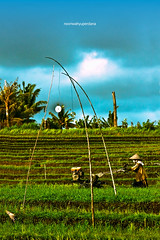 Heavy Clouds Over The Rice Field (novriwahyuperdana) Tags: bali indonesia southeastasia farmer badung canonef70300mmisusm canoneos50d tegallantang balinesefarmer munggu pererenan
