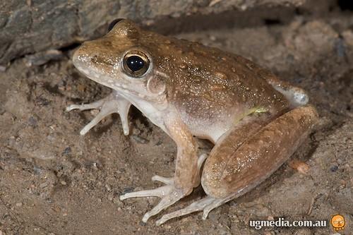 Bumpy rocket frog (Litoria inermis)
