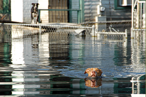 Dog swimming to rescuers after Katrina in New Orleans