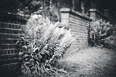 (Darren-Muir) Tags: tree brick grass wall landscape 50mm mono scotland blackwhite nikon dof bokeh f14 shallow ferns nikkor galashiels d90