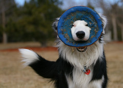 My dog... (8/52) (Anda74) Tags: silly goofy explore frisbee bordercollie ouzo himself chuckit veryproud canonef70200mmf4lusm 52weeksfordogs takensunday