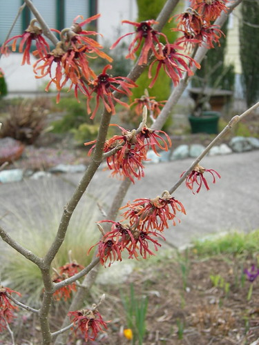 Red Witch Hazel - 'Diane'?