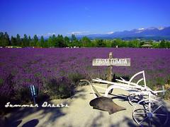 Summer Breeze (Sylvia128) Tags: summer nature hokkaido farm lavender bluesky panasonic furano farmtomita lavenderfield