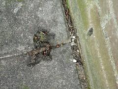 Keutels van een steenmarter. (Erik's Fotosite) Tags: droppings uitwerpselen martesfoina steenmarter stonemarten keutels