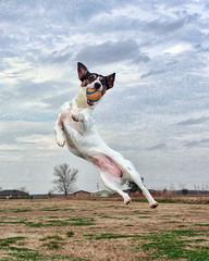 [フリー画像] [動物写真] [哺乳類] [イヌ科] [犬/イヌ] [ジャック・ラッセル・テリア] [跳ぶ/ジャンプ]     [フリー素材]