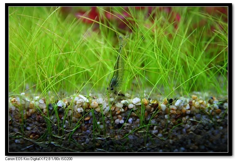 大和藻蝦啃食黑毛藻
