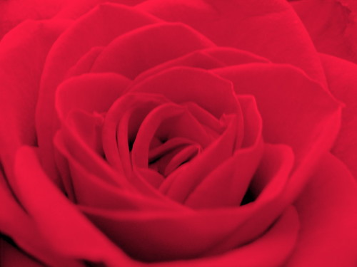 #74/365 - Rosy