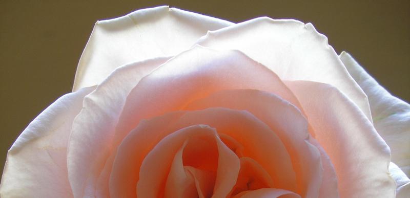 Study 3 : Peach Rose