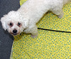 "Dinky ""helping"" spread out the fabric (Graustark) Tags: dog white fabric 1yearold dinky ratapoo ratterrierpoodlemix"
