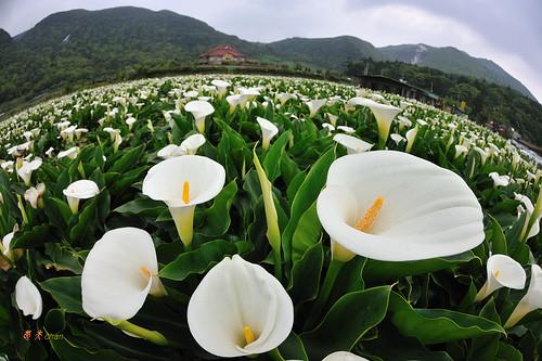 calla lily 01 陽明山海芋