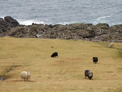Sheep in Skarvanes (Eileen Sand) Tags: ocean sheep faroeislands faroes froyar sandoy seyur