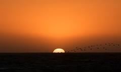 Flying into the sun (jakerome) Tags: ocean california sunset sun beach pelicans birds losangeles pacific horizon flock windy manhattanbeach southbay elsegundo deleteit saveit saveit2 deleteit2 saveit3 deleteit3 deleteit4 deleteit5 deleteit6 deleteit7 deleteit8 deleteit10 deleteit9 i500 smcpentaxda50135mmf28edifsdm sombw youhavebeendeletedfromthedeletingsungroup