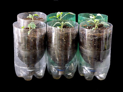 Heirloom Tomato Seedlings in Pop Bottle Planters