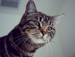(dazedreverie) Tags: cats baby pets cute kitten adorable whiskers meow overlooking
