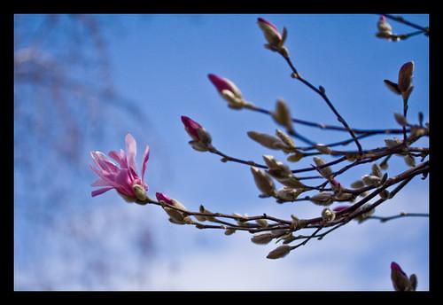 pink_magnolia