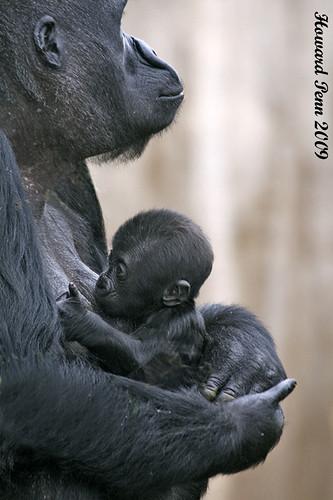 gorilla nursing