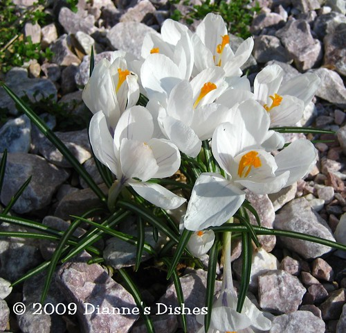 Garden Update One 2009: White Crocuses