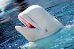 [フリー画像] [動物写真] [哺乳類] [イルカ] [シロイルカ/ベルーガ] [笑顔/スマイル]      [フリー素材]