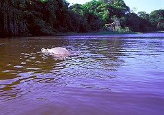 ANI_CTC.002 (photonogrady) Tags: animal fauna swimming river mammal back wildlife riviere dos paysage faune mammifere cetace cetasean