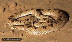 Leaf-nosed Snake(Lytorhynchus diadema) נחש חולות