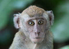 Staring Monkey (Julia-D) Tags: cute monkey eyes singapore sentosa