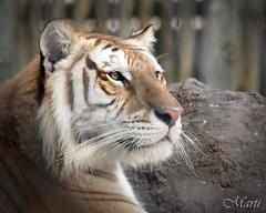 Alert Bengal Tiger (FLPhotonut) Tags: portrait nature intense feline tiger bigcat alert buschgardenstampa endangeredspecies potofgold bengaltiger onguard canon50d itsazoooutthere flphotonut canonef75300mmiif456