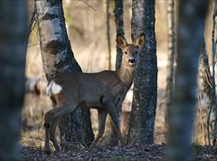 Do I know you? (Urtsan) Tags: nature animals forest wildlife olympus e3 roedeer birches wildanimals zuikodigital70300
