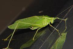 Katydid5726 (clear_image@sbcglobal.net) Tags: katydid broadwinged rhombifolium microcentrum