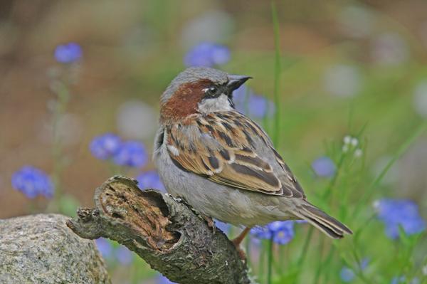 Cock Sparrow