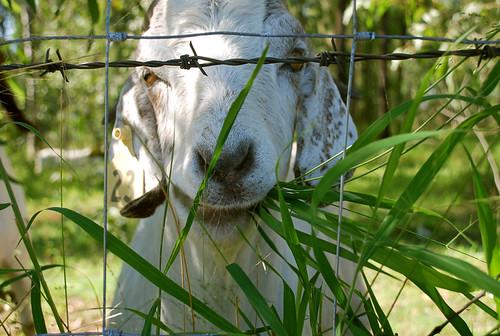 Goat Munch