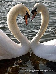 Love is sweet! (LG/BS4) Tags: lake love nature water heart swans together cygnusolor mywinners libby29 arkiesnaturegroup