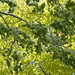 Green and Green - Weeping Wych Elm
