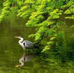deep in meditation ... (ichiro kishimi) Tags: green bird heron pond sagi aosagi mywinners anawesomeshot