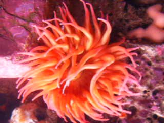 Pink and orange anenome