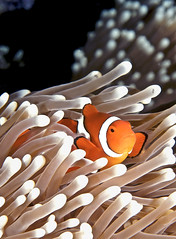 False Clown Anemonefish (melissa.fiene) Tags: pictures ocean sea orange fish detail macro beautiful closeup underwater clown great diving sealife most clownfish barrier colourful reef anenome fins osprey marinelife aquaticlife oceanlife anenomefish flickrlovers mbpictures
