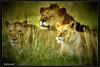 Happy family of African Lion. (click4image) Tags: family pakistan nikon lion d3 aplusphoto