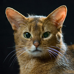 Tonto 2 (peter_hasselbom) Tags: portrait cats male face cat nose eyes flash headshot usual abyssinian gaze 2yearsold onblack twoyearsold fertile 105mm ruddy cc100