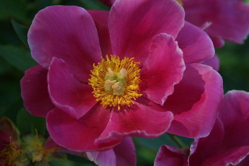 Peony 'Dancing Butterfly'