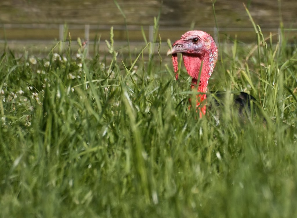 Wild Turkey Hunkered Down