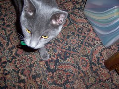 Playing Fetch (k8southern) Tags: cats plum bluecat graycat