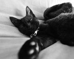 sleepy face (justonlysteve) Tags: sleeping bw cat kitten kitty sleepy pickles d300 1116