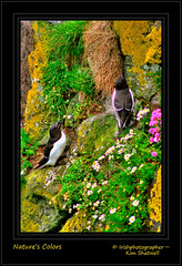 Nature's Colors (Irishphotographer) Tags: blue red black color green art beach nature yellow shoreline seabirds antrimcoast kinkade colorart carrickarederopebridge beautifulireland irishbirds imagesofireland razerbill travelireland kimshatwell irishphotographer breathtakingphotosofnature beautifulirelandcalander wwwdoublevisionimageswebscom