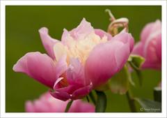 Roos (Marjo1963) Tags: flowers rose juni raw roos 2009 bloemen